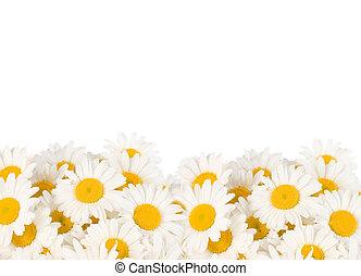 umrandungen, gänseblumen
