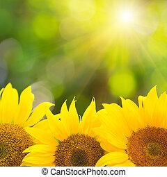 umrandungen, sonnenblume