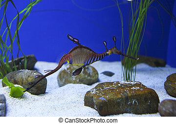 un, acción, fotografía, de, un, dragón frondoso del mar