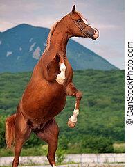 un, caballo árabe, rearing., cicatrizarse