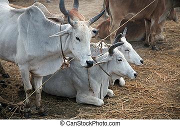 un, grupo, de, vacas, pasto, en, un, campo