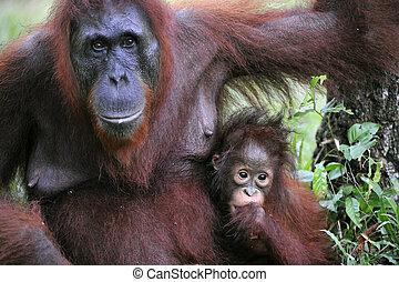 un, hembra, de, el, orangután, con, un, baby.