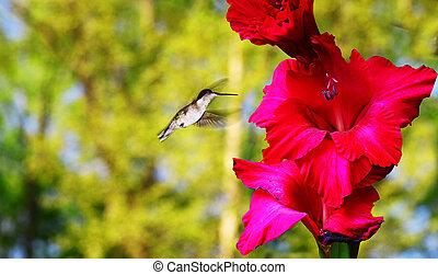 un, hembra, rubí, throated, colibrí, yendo, para, néctar, de, un, rojo, gladiolous, flor, exterior, durante, el, primavera, con, habitación, para, su, text.