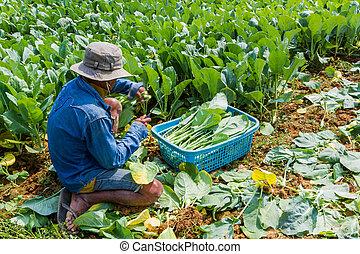 un, jardinero, plantación, col rizada china, vegetable.