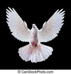 un, libre, vuelo, paloma blanca, aislado, en, un, negro