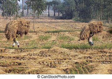 un, no identificado, granjero, lleva, arroz, de, el, granja,...