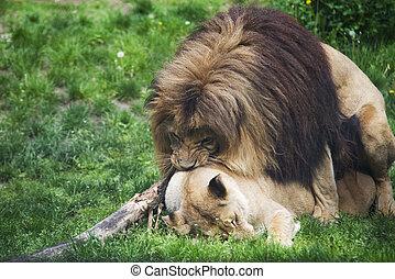 Tanzania serengeti pareja frica leones c pula sabana tanzania c pula hembra serengeti - Leones apareamiento ...