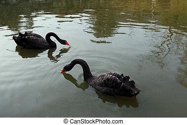un, par, de, cisnes negros, en, el, lago