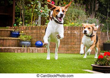 un po', correndo, bracco, erba, parco cane