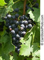 un, ramo, uvas sauvignon cabernet