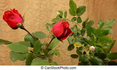 Unblooming red and white rose, timelapse footage. Close up,...