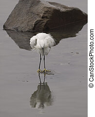 Uncombed white egret with reflection. Douro river, northern ...