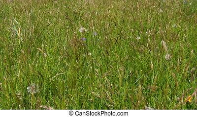 Uncut grass background - Summertime. Meadow grass bents...