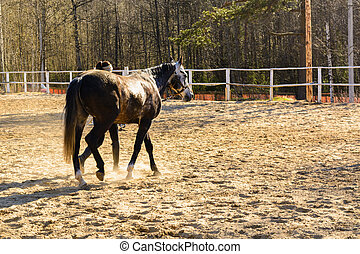 Uncut horse on sand track with trainer