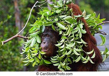 Under an ecological umbrella. - The orangutan uses a tree...