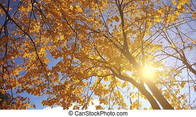 Under the deciduous autumn treetop, shedding leaves falling...