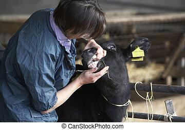 undersöka, veterinär, kalv