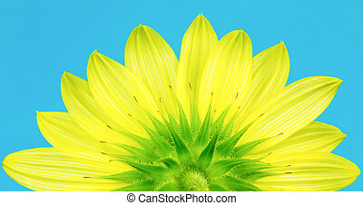 Underside of yellow sunflower - Close up of bottom of...