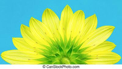 Underside of yellow sunflower - Close up of bottom of...