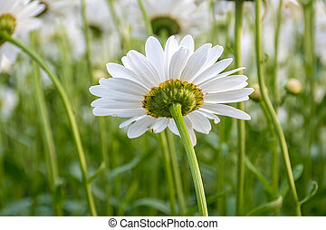 underside view of white daisy - close up view of underside...