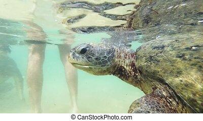 Underwater 4k footage of big green turtle swimming in clear water at Indian ocean