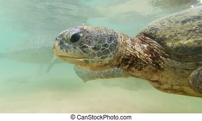 Underwater 4k footage of two green turtles swimming ...