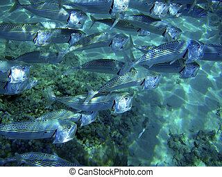 Underwater close up of fish school feeding. Red Sea, Egypt.
