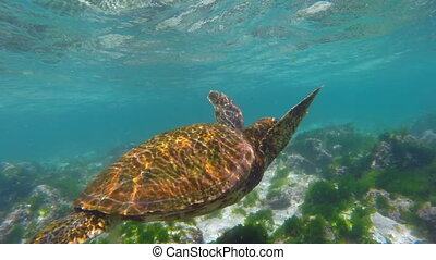 Underwater close up of wild sea turtle swimming - Colorful...