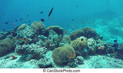 Underwater Colorful Fishes and Corals in the Beautiful Tropical Island of Maldives in Indian Ocean