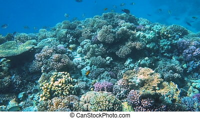 Underwater Colorful Tropical Fishes and Beautiful Corals. Red sea Sharm el Sheikh Egypt, ras mohamed national park