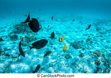 Underwater coral reef and fish in Indian Ocean, Maldives.