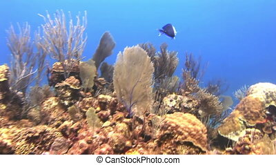 Underwater Coral Reef and Tropical Fish in Bahamas