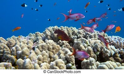 Underwater coral reef with tropical fish in ocean -...