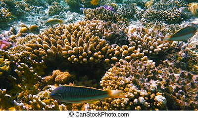 Underwater coral reef with tropical fish, Klunzinger's...