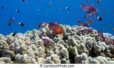 Underwater coral reef with tropical fish in ocean -...