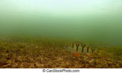 Underwater filming of fish - Shooting underwater freshwater...