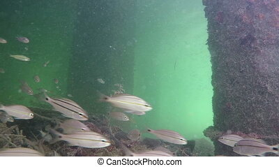 Underwater Florida Keys tropical fish school swimming at camera