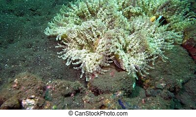 Underwater Hard corals on sea ocean. School fish. Amazing, beautiful underwater world Bali Indonesia and life of its inhabitants, creatures and diving, travels with them. Wonderful experience in sea
