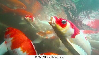 Underwater Koi fish in pond eating. - Koi in fish pond...