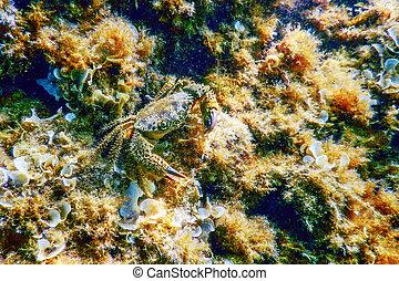 underwater, krabbe, warty, eriphia, verrucosa, riff