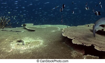 Underwater landscape of coral reef. Amazing, beautiful underwater marine life world of sea creatures in Maldives. Scuba diving and tourism.