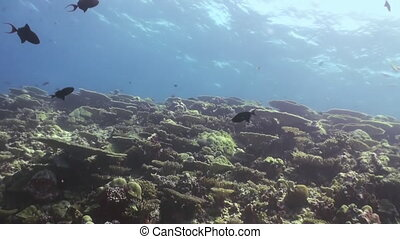 Underwater landscape of coral reef. Close Up Shot. Amazing, beautiful underwater marine life world of sea creatures in Maldives. Scuba diving and tourism.