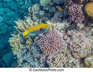Medium size yellow scarus fish