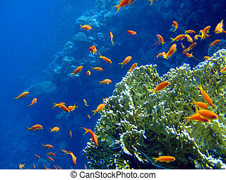 Underwater landscape with coral snd Scalefin Anthias. Red...