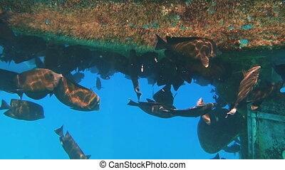 tropical fish feeding under bottom of yacht - Underwater...