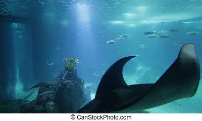 Underwater Manta Ray - Undersea marine life. Prospective...