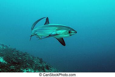Underwater Marine - Pelagic Thresher Shark (Alopias...