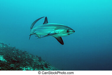 Pelagic Thresher Shark (Alopias pelagicus) Monad Shoal, Malapascua, Phillipines
