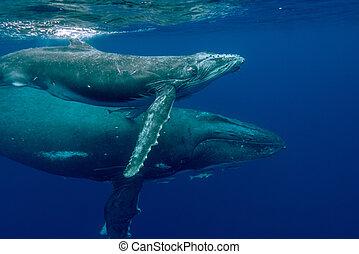 Underwater Marine - Humpback Whale/Calf (Megaptera...