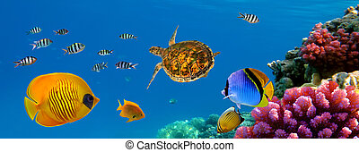 Underwater panorama with turtle, coral reef and fishes. Red...